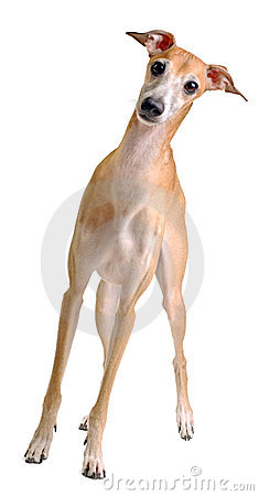 Funny yellow dog Italian greyhound