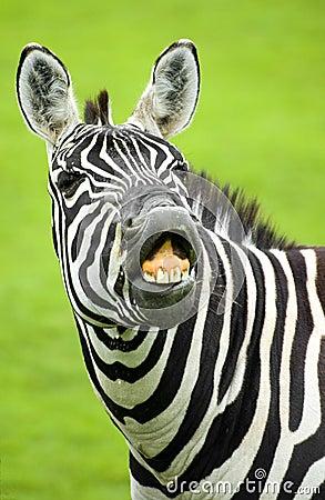 Funny Zebra Stock Images Image 5683794