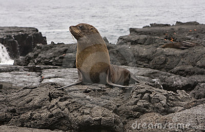 Fur Sea lion on the Galapagos Islands