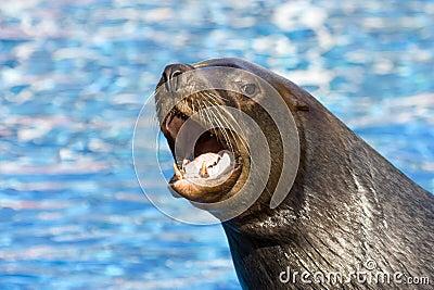 Fur seal 6