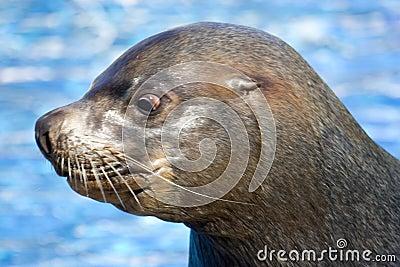 Fur seal 7