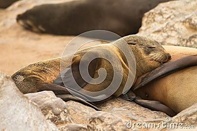 Fur seal baby