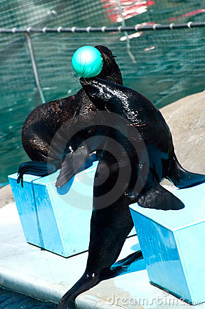 Fur seal with ball