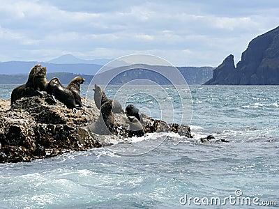 Fur seal bulls & cows, Tasmania, Australia