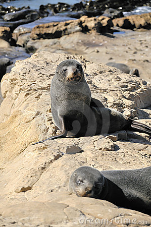 Free Fur Seal On Rocks, New Zealand Royalty Free Stock Photography - 23138447