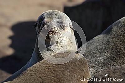 Fur seal pup, Skeleton Coast, Namibia