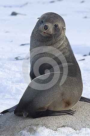 Fur seal sitting on a rock on the beach Antarctic