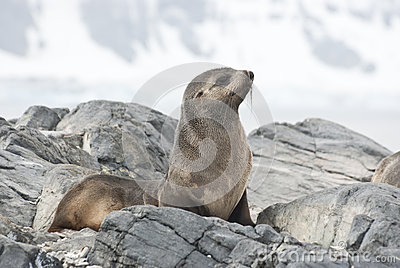 Fur Seal sitting on a rock island Antarctic.