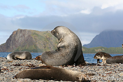 Fur Seals in the sun