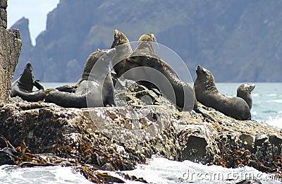 Fur seals, Tasmania, Australia