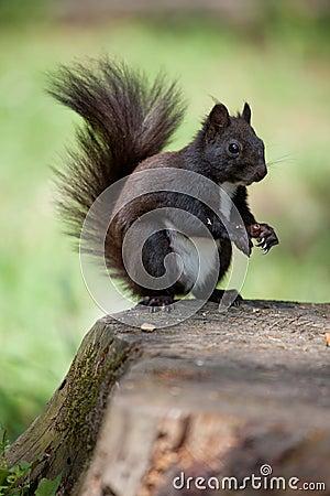 Fur squirrel close-up on stump, grass background