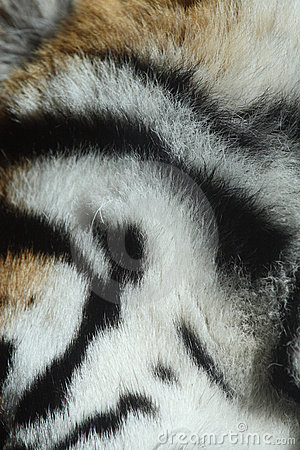Fur of tiger