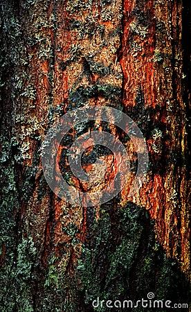 Fur-tree bark