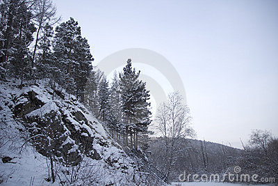 Fur-trees on a mountain slope