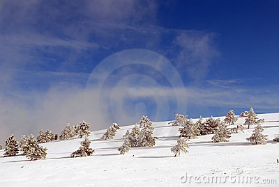Fur-trees under snow