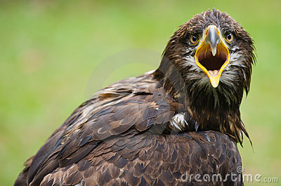 Furious golden eagle