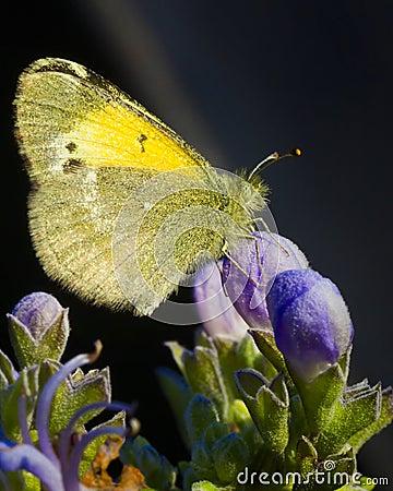 Furry Butterfly
