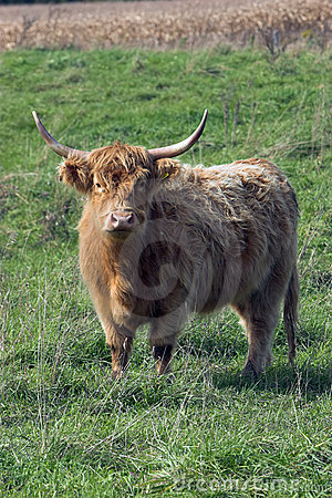 Furry cow