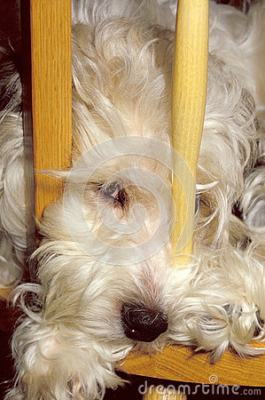 Furry dog in chair