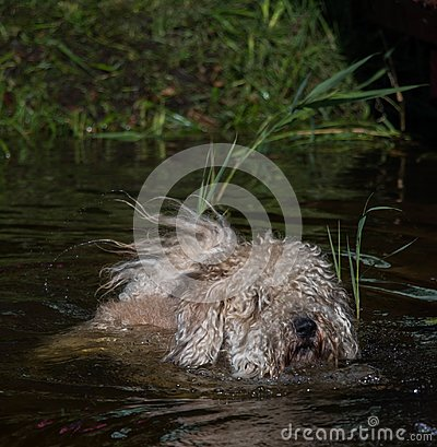 Free Furry Dog Swiming At Water With Reeds At Suuny Summer Day Stock Images - 100083854