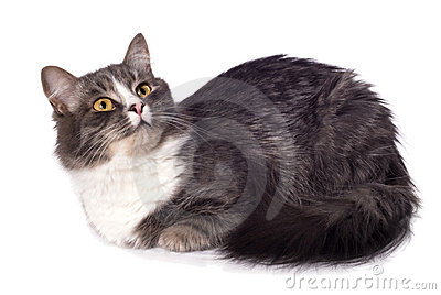 Furry grey cat