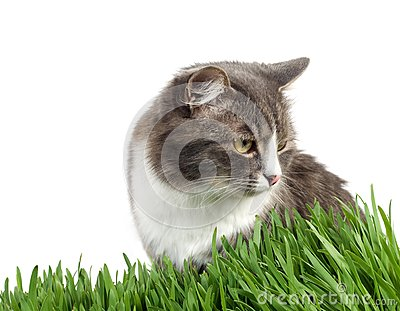 Furry grey cat in the grass