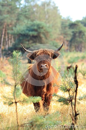 Furry highland cow dutch veluwe site