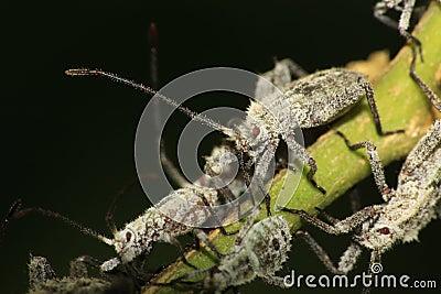 Furry shield bug