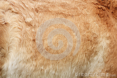 Furry skin of brown horse