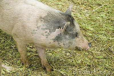 Furry spotted pig