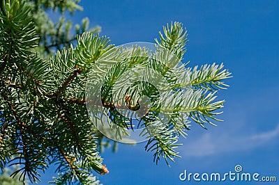 Furtree against blue sky