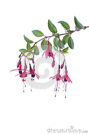 Free Fuschia Stock Photos - 3195453