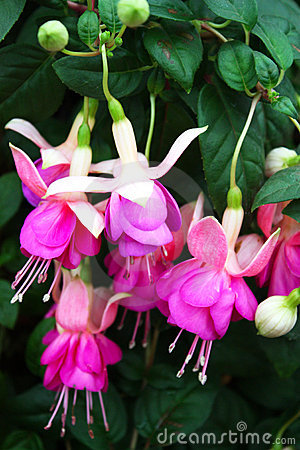 Fuschia flowers