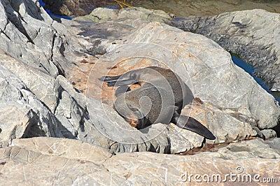 Futerkowej foki dosypianie