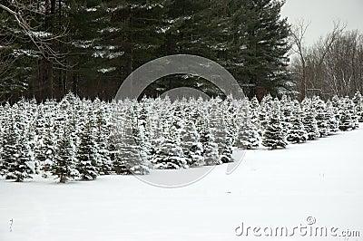 Future Christmas Trees Stock Photo