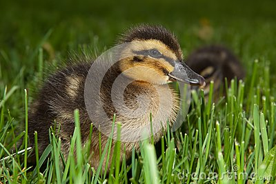 Fuzzy Duckling in Grass