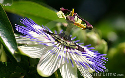 FV Passion flower