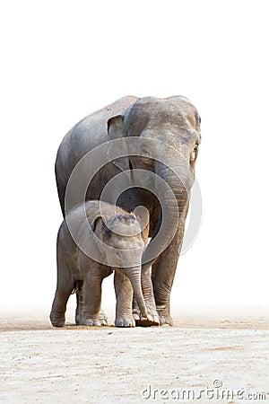 Gå för 2 asiatiskt elefantfamilys