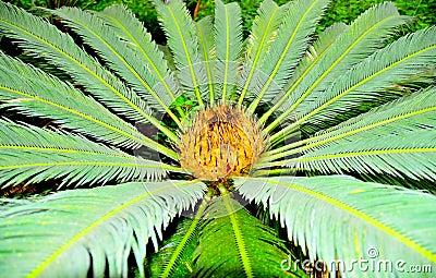 Gömma i handflatan pinnate tropiskt