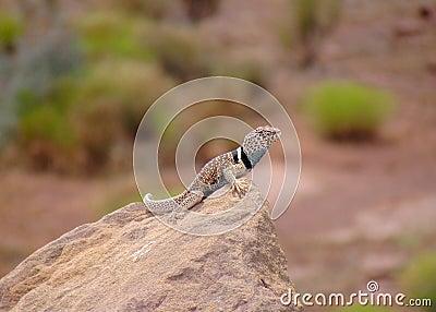 G. Basin Collared Lizard, Crotaphytus bicinctores