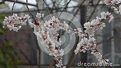 Gałąź morela kwitnie w ogródzie półmrok zbiory wideo
