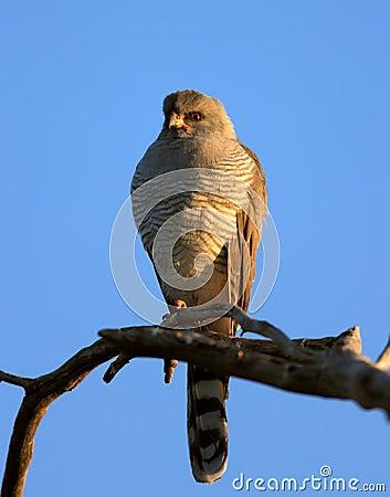 Gabar Goshawk perched on branch