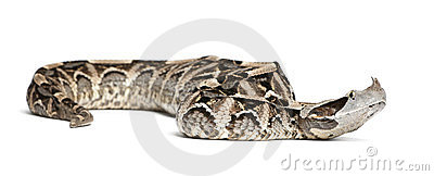 Gaboon viper - Bitis gabonica, poisonous