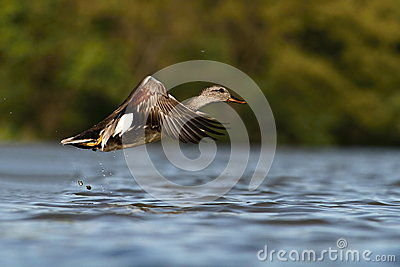 The Gadwall Anas strepera