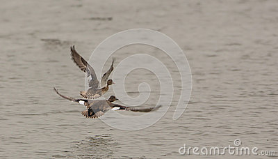 Gadwalls in flight