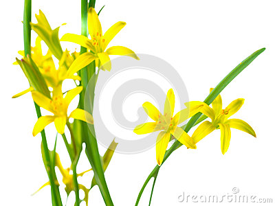 Gagea lutea (Yellow Star of Bethlehem) Stock Photo