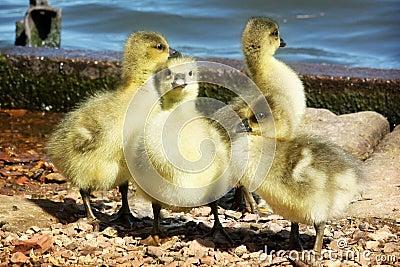 A gaggle of Greylag Goslings