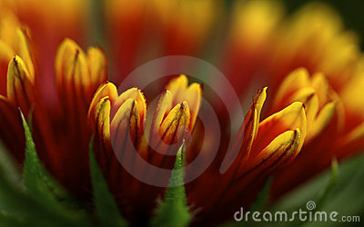 Gaillardia bloom, macro