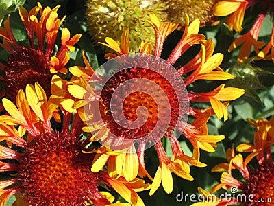 Gaillardia Grandiflora Blanket Flower