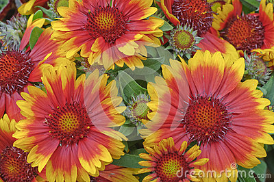 Gaillardia x grandiflora  Blanket flower
